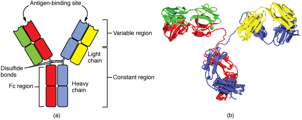Antibody and IgG2 Structures