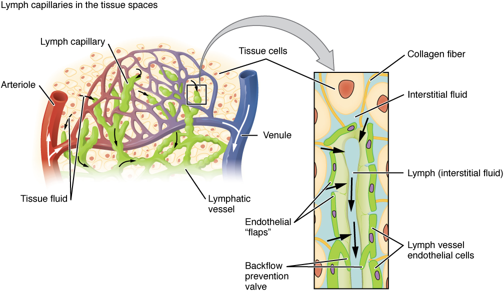 This image shows the lymph capillaries in the tissue spaces, and a magnified image shows the interstitial fluid and the lymph vessels. The major parts are labeled.