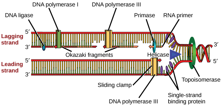 Illustration shows the replication fork. Helicase unwinds the helix, and single-strand binding proteins prevent the helix from re-forming. Topoisomerase prevents the D N A from getting too tightly coiled ahead of the replication fork. D N A primase forms an R N A primer, and D N A polymerase extends the D N A strand from the R N A primer. D N A synthesis occurs only in the 5 prime to 3 prime direction. On the leading strand, D N A synthesis occurs continuously. On the lagging strand, D N A synthesis restarts many times as the helix unwinds, resulting in many short fragments called Okazaki fragments. D N A ligase joins the Okazaki fragments together into a single D N A molecule.