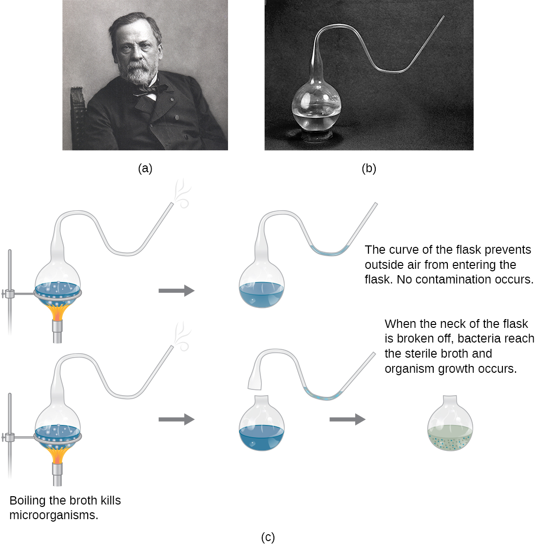 a) Photo of Louis Pasteur b) Photo of Pasteur's flask – a round flask that is only opened to the outside through a long S-shaped tube. c) A drawing of Pasteur's experiment. The top diagram shows the swan-neck flask from (b) containing broth that is being boiled to kill microorganisms in the broth. After the boiling process the cooled flask remains sterile because the curve of the flask prevents outside air from entering the flask. So, no contamination occurs. The bottom diagram shows the same flask being boiled. Next, the swan-neck is removed and the flask is opened to the environment. When the neck of the flask is broken off, bacteria reach the sterile broth and organism growth occurs. This is seen as cloudiness in the broth.