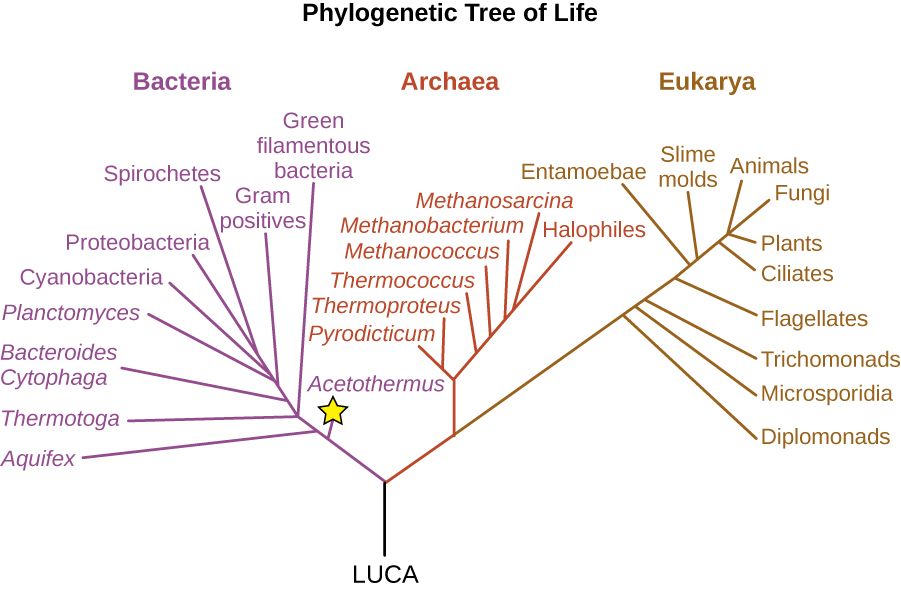 A diagram of a phylogenetic tree. At the base is the label LUCA This branches into two branches. The branch on the left is the bacteria, the branch to the right branches again to form the archaea and Eukarya. The lowest branch of the bacteria is the acetothermus (which is starred). Branches above that include (from bottom to top): aquifex, thermotoga, green filamentous bacteria, bacteroides, cytophaga, planctomyces, gram positives, cyanobacteria, porteiobacteria and spirochetes. Branches of the arcaea from bottom to top: pyrodicticum, thermoproteus, Thermococcus, methanococcus, methanobacterium, methanosarcina, and halophies. Branches of the Eukarya from bottom to top: diplomonads, microsporidia, trichomonads, flagellates, entamoebae, slime molds, ciliates, plants, animals, and fungi.