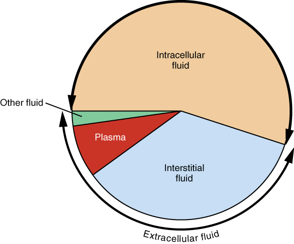 "This pie chart shows that about 55% of water in the human body is intracellular fluid. About 30% of the water in the human body is interstitial fluid. Most of the remaining 15% of water is plasma, along with a small percentage labeled ""other fluid""."