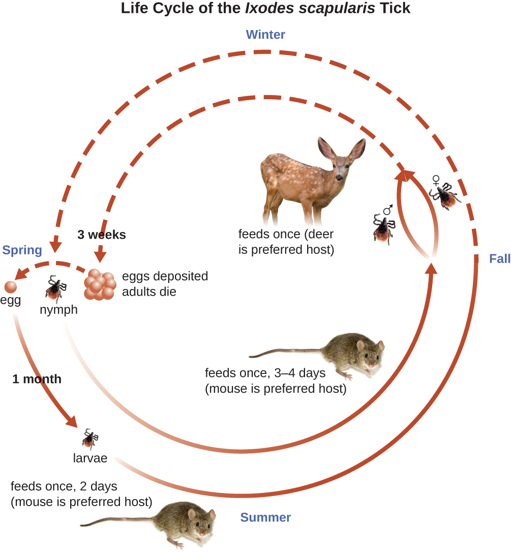 Life cycle of the Ixodes scapularis In wither it feeds one (deer is preferred host. Eggs are deposited and adults die within 3 weeks. In the spring the egg becomes a larvae and feeds once, 2 days (mouse is preferred host). The larva becomes a nymph.