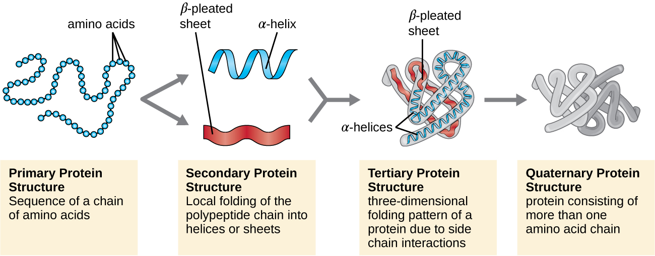 Protein structure has four levels of organization.