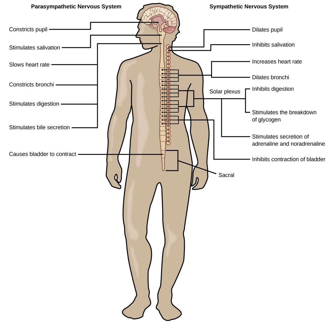 Illustration shows the effects of the sympathetic and parasympathetic systems on target organs, and the placement of the preganglionic neurons that mediate these effects. The parasympathetic system causes pupils and bronchi to constrict, slows the heart rate, and stimulates salivation, digestion, and bile secretion. Preganglionic neurons that mediate these effects are all located in the brain stem. Preganglionic neurons of the parasympathetic system that are located in the sacral cause the bladder to contract. The sympathetic system causes pupils and bronchi to dilate, increases heart rate, inhibits digestion, stimulates the breakdown of glycogen and the secretion of adrenaline and noradrenaline, and inhibits contraction of the bladder. The preganglionic neurons that mediate these effects are all located in the spine.