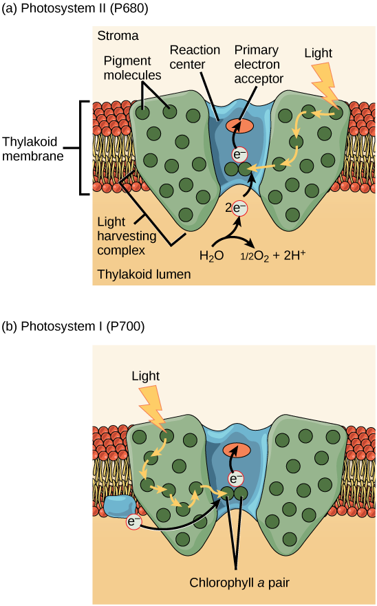 Illustration a shows the structure of P S I I, which is embedded in the thylakoid membrane. At the core of P S I I is the reaction center. The reaction center is surrounded by the light-harvesting complex, which contains antenna pigment molecules that shunt light energy toward a pair of chlorophyll a molecules in the reaction center. As a result, an electron is excited and transferred to the primary electron acceptor. A water molecule is split, releasing two electrons which are used to replace excited electrons. Illustration b shows the structure of P S I, which is similar in structure to P S I I. However, P S I I uses an electron from the chloroplast electron transport chain also embedded in the thylakoid membrane to replace the excited electron.