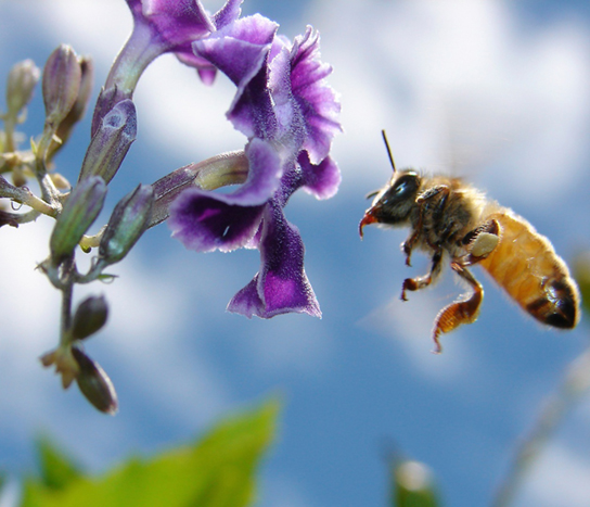 A photograph shows a bee in flight, getting nectar from a flower.