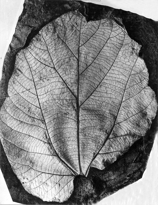 Photo shows a fossilized leaf, which looks much like a modern teardrop-shaped leaf with multiple, branching veins.