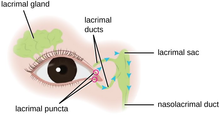 Diagram of an eye. Above the eye is the lacrimal gland. At the point nearest the nose is the punctums and tubes leading to the lacrimal sac and nasolacrimal duct.