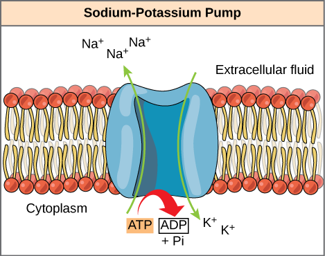 This illustration shows the sodium-potassium pump embedded in the cell membrane. ATP hydrolysis catalyzes a conformational change in the pump that allows sodium ions to move from the cytoplasmic side to the extracellular side of the membrane, and potassium ions to move from the extracellular side to the cytoplasmic side of the membrane as well.