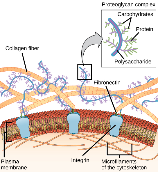 This illustration shows the plasma membrane. Embedded in the plasma membrane are integral membrane proteins called integrins. On the exterior of the cell is a vast network of collagen fibers, which are attached to the integrins via a protein called fibronectin. Proteoglycan complexes also extend from the plasma membrane into the extracellular matrix. A magnified view shows that each proteoglycan complex is composed of a polysaccharide core. Proteins branch from this core, and carbohydrates branch from the proteins. The inside of the cytoplasmic membrane is lined with microfilaments of the cytoskeleton.