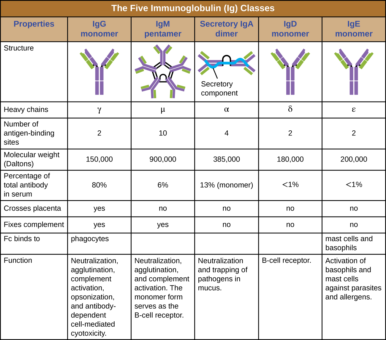 Table titled: The five immunoglobulin (Ig) classes. IgG monomer is a Y shaped molecule; the heavy chain is gamma, it has 2 antigen binding sites and a molecular weight of 150,000 daltons. It makes up 80% of the total antibodies in the serum. It crosses the placenta and fixes compliments and the Fc binds to phagocytes. It's functions are: Neutralization, agglutination, complement activation, opsonization, and antibody-dependent cell-mediated cytotoxicity. IgM pentamer is 5 Y's bound at their bases; the heavy chain is mu, it has 10 antigen binding sites and a molecular weight of 900,000 daltons. It makes up 6% of the total antibodies in the serum. It does not cross the placenta but does fix compliments and the Fc does not bind to a particular cell type. It's functions are: Neutralization, agglutination, and complement activation. The monomer form serves as the B cell receptor. IgA dimer is 2 Y's bound at their bases; the heavy chain is alpha, it has 4 antigen binding sites and a molecular weight of 385,000 daltons. It makes up 13% of the total antibodies in the serum. It does not cross the placenta nor fix compliments and the Fc does not bind to a particular cell type. It's functions are: Neutralization and trapping of pathogens in mucus. IgD monomer is 1 Y; the heavy chain is delta, it has 2 antigen binding sites and a molecular weight of 180,000 daltons. It makes up <1% of the total antibodies in the serum. It does not cross the placenta nor fix compliments and the Fc does not bind to a particular cell type. It's functions are: B cell receptors. IgE monomer is 1 Y; the heavy chain is epsilon, it has 2 antigen binding sites and a molecular weight of 200,000 daltons. It makes up <1% of the total antibodies in the serum. It does not cross the placenta nor fix compliments. The Fc binds to mast cells and basophils. It's functions are: Activation of basophils and mast cells against parasites and allergens.