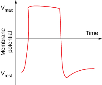 This line graph is labeled on the vertical axis Membrane potential. It has an arrow going straight upwards. The other arrow goes straight across in the middle of the main axis and is labeled time. The red line begins near the bottom of the vertical axis, climbs up toward the top, goes straight across for a half an inch, falls down pass the start, until bouncing up a little bit and tapering off.