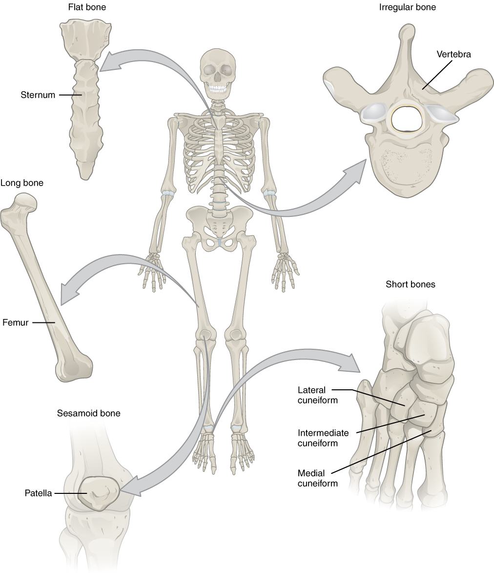 This illustration shows an anterior view of a human skeleton with call outs of five bones. The first call out is the sternum, or breast bone, which lies along the midline of the thorax. The sternum is the bone to which the ribs connect at the front of the body. It is classified as a flat bone and appears somewhat like a tie, with an enlarged upper section and a thin, tapering, lower section. The next callout is the right femur, which is the thigh bone. The inferior end of the femur is broad where it connects to the knee while the superior edge is ball-shaped where it attaches to the hip socket. The femur is an example of a long bone. The next callout is of the patella or kneecap. It is a small, wedge-shaped bone that sits on the anterior side of the knee. The kneecap is an example of a sesamoid bone. The next callout is a dorsal view of the right foot. The lateral, intermediate and medial cuneiform bones are small, square-shaped bones of the top of the foot. These bones lie between the proximal edge of the toe bones and the inferior edge of the shin bones. The lateral cuneiform is proximal to the fourth toe while the medial cuneiform is proximal to the great toe. The intermediate cuneiform lies between the lateral and medial cuneiform. These bones are examples of short bones. The fifth callout shows a superior view of one of the lumbar vertebrae. The vertebra has a kidney-shaped body connected to a triangle of bone that projects above the body of the vertebra. Two spines project off of the triangle at approximately 45 degree angles. The vertebrae are examples of irregular bones.
