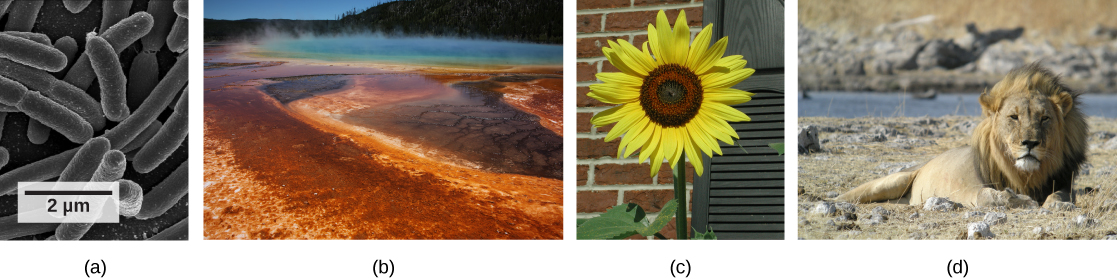 Photos depict: A: bacterial cells. B: a natural hot vent. C: a sunflower. D: a lion.