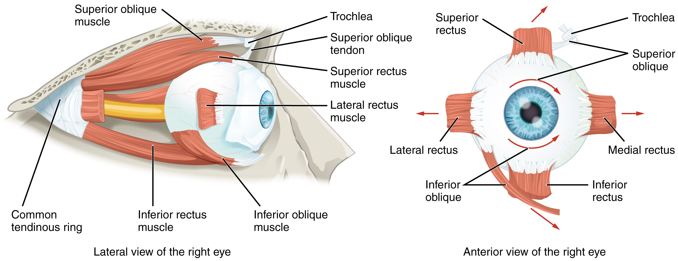 This image shows the muscles surrounding the eye. The left panel shows the lateral view, and the right panel shows the anterior view of the right eye.