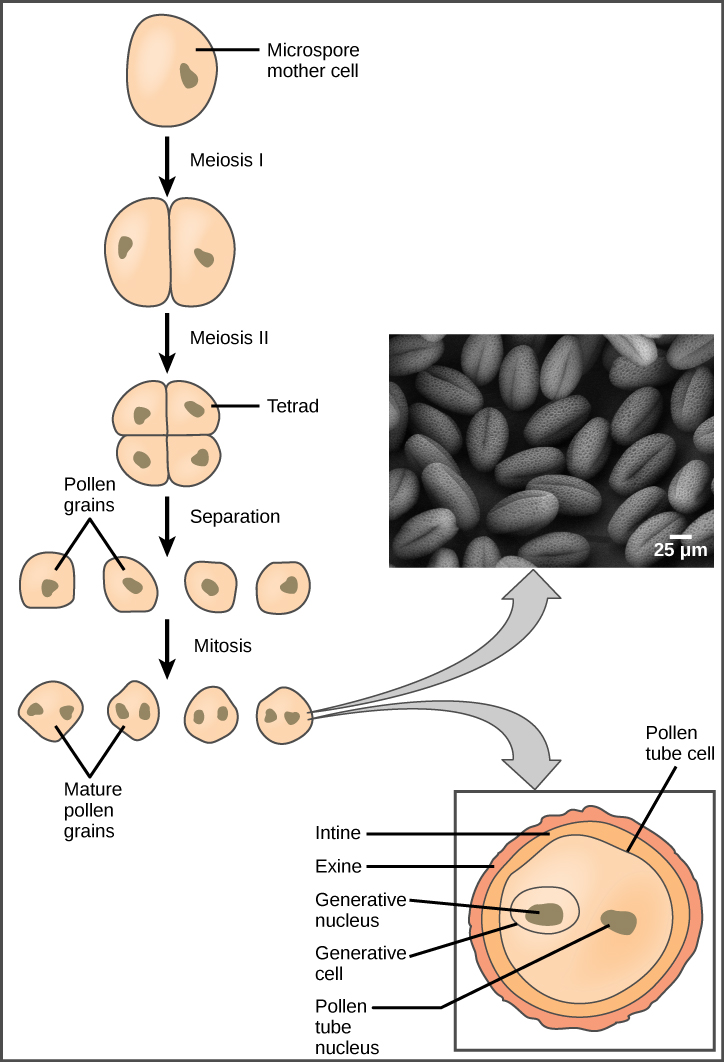 Illustration shows the formation of pollen from a microspore mother cell. The mother cell undergoes meiosis to form a tetrad of cells, which separate to form the pollen grains. The pollen grains undergo mitosis without cytokinesis, resulting in four mature pollen grains with two nuclei each. One is called the generative nucleus, and the other is called the pollen tube nucleus. Two projective layers form around the mature pollen grain, the inner intine and the outer exine. Micrograph shows a pollen grain, which looks like puffed wheat.