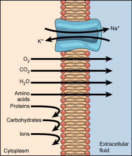 A phospholipid bilayer plasma membrane with a protein channel is shown. With the expenditure of one ATP, sodium passes through the channel from the cytoplasm to the extracellular fluid, and potassium passes through the channel from the extracellular fluid to the cytoplasm. Nonpolar molecules of oxygen, carbon dioxide, water and amino acids pass freely through the plasma membrane to the extracellular fluid. Proteins, carbohydrates and ions cannot pass through the plasma membrane and are trapped within the cytoplasm.