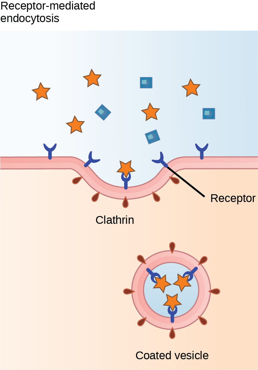 This illustration shows a part of the plasma membrane that is clathrin-coated on the cytoplasmic side and has receptors on the extracellular side. The receptors bind a substance, then pinch off to form a vesicle.