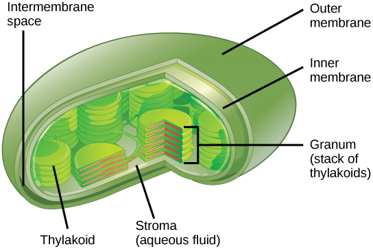 This illustration shows a chloroplast, which has an outer membrane and an inner membrane. The space between the outer and inner membranes is called the intermembrane space. Inside the inner membrane are flat, pancake-like structures called thylakoids. The thylakoids form stacks called grana. The liquid inside the inner membrane is called the stroma, and the space inside the thylakoid is called the thylakoid space.