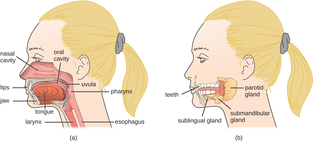a) Structures of the head and neck: lips, jaw, nasal cavity (large space behind the nose), oral cavity (space in the mouth), tongue, uvula (structure in at the back of the mouth), pharyx (tube at the back of the mouth), esophagus (the pharyx is the top part of this tube which is now called the esophagus in the throat), and the larynx (this is also continuous with the pharynx but leads to the respiratory system). B) Components of the mouth region: teeth, sublingual gland (Below the tongue), submandibular gland (at the back and to the bottom of the mouth), and the parotid gland (a large gland at the very back of the mouth).