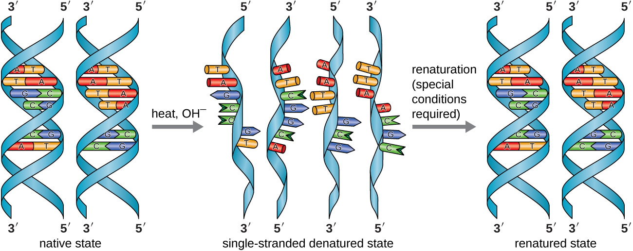 In the laboratory, the double helix can be denatured to single-stranded DNA through exposure to heat or chemicals,...