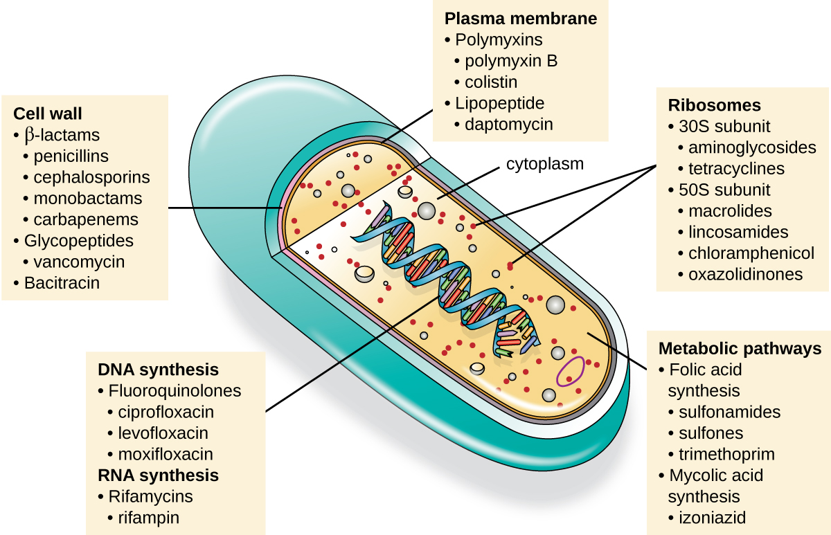 An illustration of a cell is shown with a view inside. The double helix is visible in the center, and a label points to it indicating DNA synthesis, fluoroquinolones, ciprofloxacin, levofloxacin, moxifloxacin, RNA synthesis, Rifamycins, and rifampin. Another label points to the cell wall and indicates beta lactams, penicillins, cephalosporins, monobactams, carbapenems, glycopepties, vancomycin, and bacitracin. A third label points to the plasma membrane and indicates polymyxins, polymyxin B, colistin, lipopeptide, and daptomycin. Within the cytoplasm, another label points to ribosomes, which include 30s subunit, aminoglycosides, tetracyclines, 50s subunit, macrolides, lincosamides, chloramphenicol, and oxazolidinones. The final label points to the metabolic pathways and indicates folic acid synthesis, sulfonamides, sulfones, trimethoprim, mycolic acid synthesis, and izoniazid.
