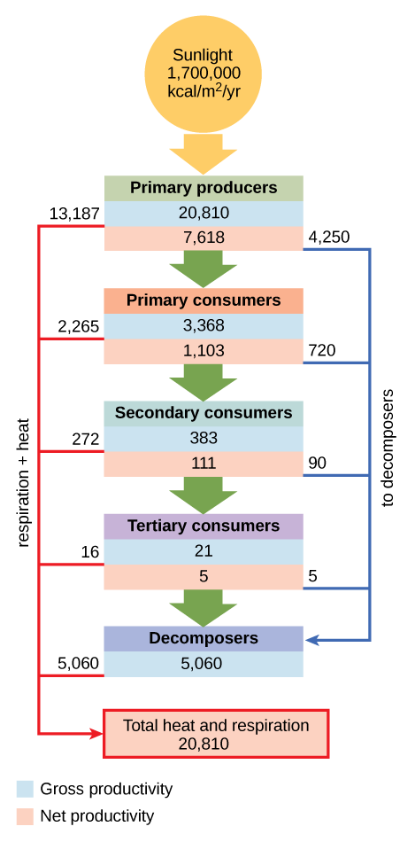 Flow chart shows that the ecosystem absorbs 1,700,00 calories per meter squared per year of sunlight. Primary producers have a gross productivity of 20,810 calories per meter squared per year. 13,187 calories per meter squared per year is lost to respiration and heat, so the net productivity of primary producers is 7,618 calories per meter squared per year. 4,250 calories per meter squared per year is passed on to decomposers, and the remaining 3,368 calories per meter squared per year is passed on to primary consumers. Thus, the gross productivity of primary consumers is 3,368 calories per meter squared per year. 2,265 calories per meter squared per year is lost to heat and respiration, resulting in a net productivity for primary consumers of 1,103 calories per meter squared per year. 720 calories per meter squared per year is lost to decomposers, and 383 calories per meter squared per year becomes the gross productivity of secondary consumers. 272 calories per meter squared per year is lost to heat and respiration, so the net productivity for secondary consumers is 111 calories per meter squared per year. 90 calories per meter squared per year is lost to decomposers, and the remaining 21 calories per meter squared per year becomes the gross productivity of tertiary consumers. Sixteen calories per meter squared per year is lost to respiration and heat, so the net productivity of tertiary consumers is 5 calories per meter squared per year. All this energy is lost to decomposers. In total, decomposers use 5,060 calories per meter squared per year of energy, and 20,810 calories per meter squared per year is lost to respiration and heat.