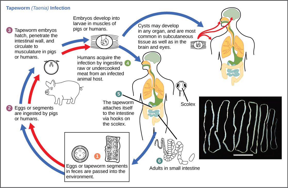 The life cycle of a tapeworm begins when eggs or tapeworm segments in the feces are ingested by pigs or humans. The embryos hatch, penetrate the intestinal wall, and circulate to the musculature in both pigs and humans. This figure shows how humans may acquire a tapeworm infection by ingesting raw or undercooked meat. Infection may results in cysts in the musculature, or in tapeworms in the intestine. Tapeworms attach themselves to the intestine via a hook-like structure called the scolex. Tapeworm segments and eggs are excreted in the feces, completing the cycle.