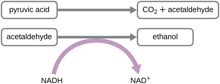 Pyruvic acid is converted to CO2 andacetaldehyde. Acetaldehyde is converted to ethanol; in this process NADH is converted to NAD+