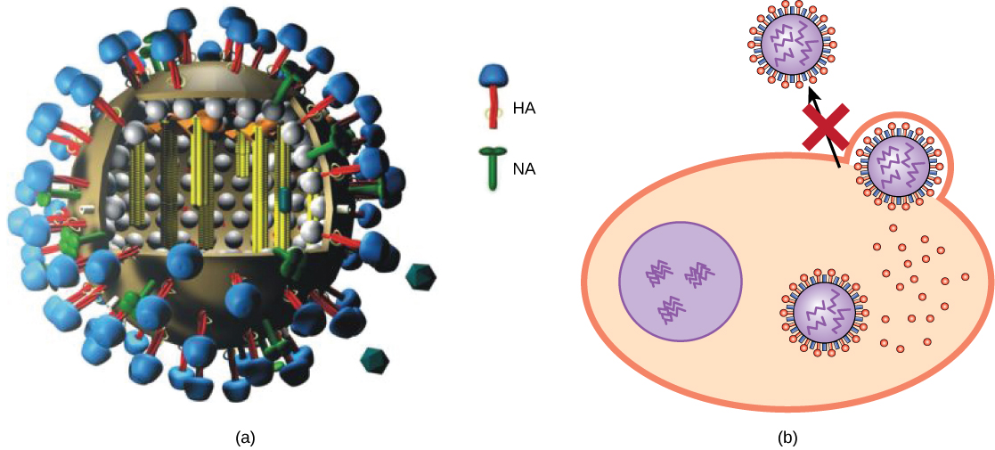 Part a shows the structure of the influenza virus, which is icosahedral with a viral envelope. Neuraminidase and hemagglutinin are embedded in the envelope. Part b shows that Tamiflu prevents the step in influenza infection in which virions leave the cell.