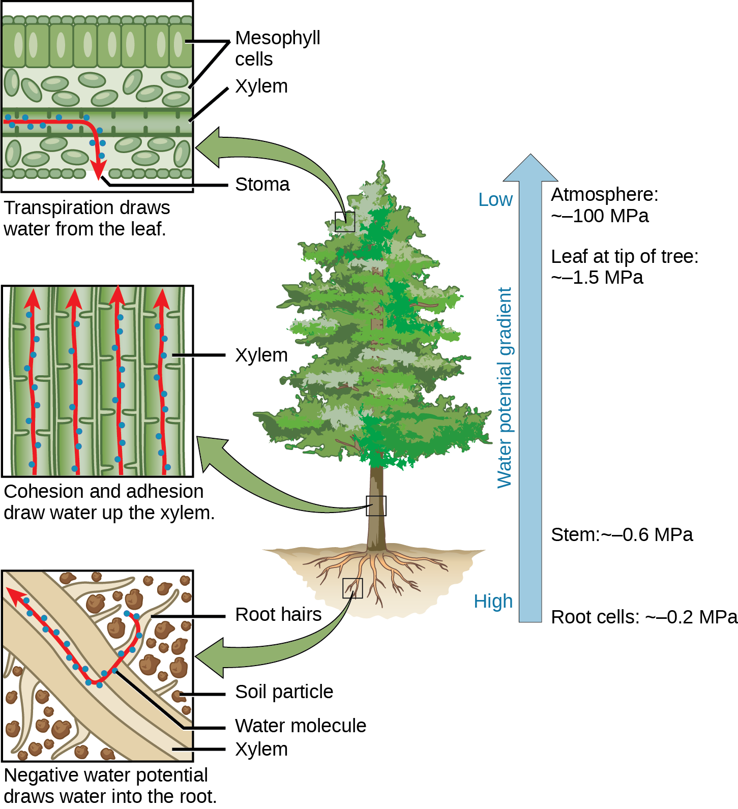 Illustration shows a pine tree. A blowup of the root indicates that negative water potential draws water from the soil into the root hairs, then into the root xylem. A blowup of the trunk indicates that cohesion and adhesion draws water up the xylem. A blowup of a leaf shows that transpiration draws water from the leaf through the stoma. Next to the tree is an arrow showing water potential, which is low at the roots and high in the leaves. The water potential varies from approximately 0.2 upper case M upper case P lower case a, in the root cells to approximately 0.6 M P a in the stem and from approximately 1.5 M P a in the highest leaves, to approximately 100 M P a in the atmosphere.