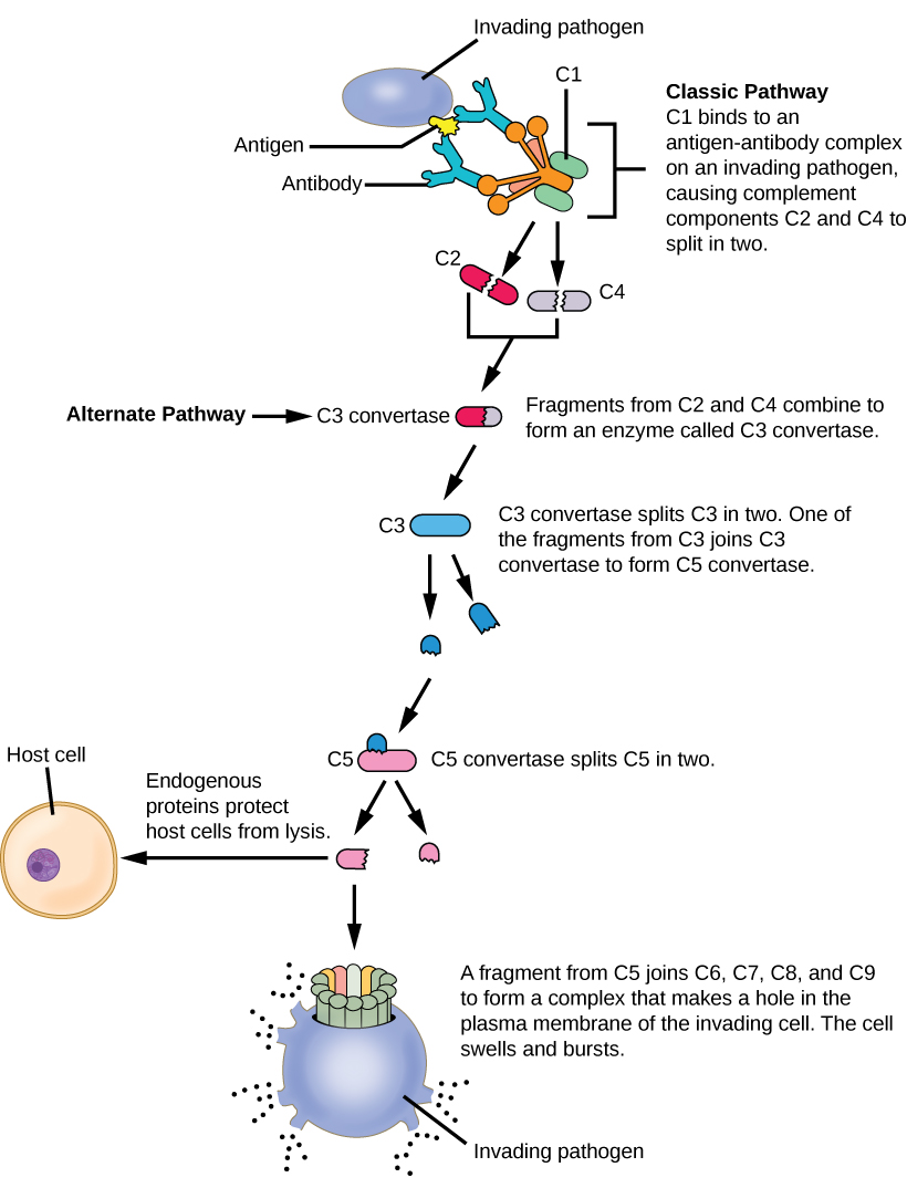 Illustration shows an invading pathogen with an antigen on its surface. In the classic pathway for complement activation, host antibodies bind the antigen, and C1 binds the antibody. The C1-antibody complex causes C2 and C4 each to split in two. Fragments from C2 and C4 each joins together to form an enzyme called C3 convertase. C3convertase splits C3 in two. One of the fragments from C3 joins C3 convertase to form C5 convertase. C5 convertase splits C5 in two. A fragment from C5 joins C6, C7, C8, and C9 to form a complex that makes a hole in the plasma membrane for the invading cell. The cell swells and bursts. In the alternative pathway, C3 convertase spontaneously splits C3 in two and the rest of the pathway proceeds the same as the classic pathway. Host cells are protected from complement by the presence of endogenous proteins.