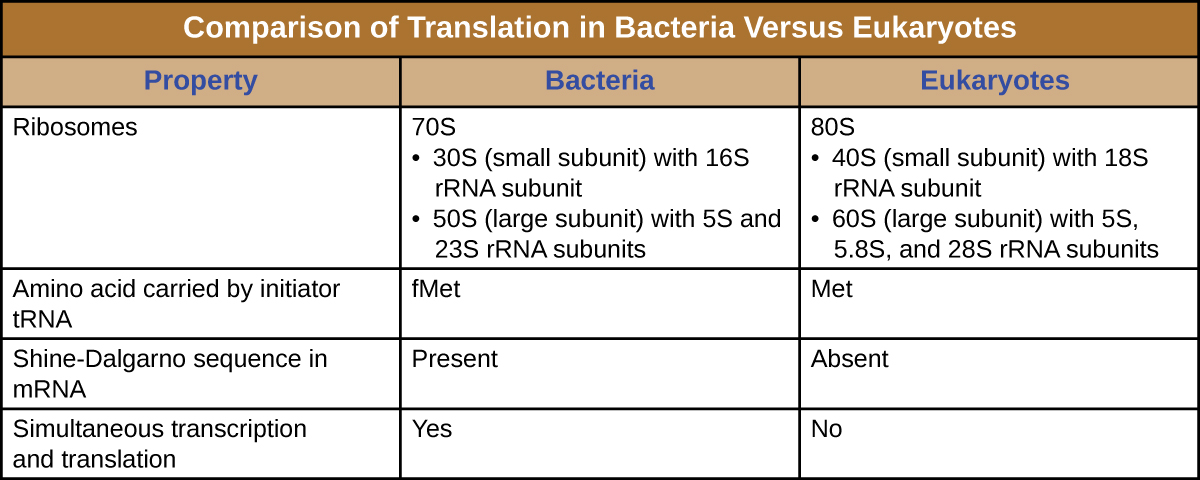 Table titled: Comparison of Translation in Bacteria Versus Eukaryotes. Bacteria have 70s ribosomes made of a 30s (small subunit) with 16SrRNA subunit and a 50S (large subunit) with 5S and 23S rRNA subunits. Eukaryotic ribosomes are 80S with 40s (small subunit) with 18s rRNA subunit and 60S (large subunit) with 5S, 5.8S, and 28S rRNA subunits. The amino acid carried by the initiator tRNA is fMet for bacteria and Met for Eukaryotes. Bacteria have a Shine-Delgarno sequence in their mRNA while Eukaryotes do not. Transcription and translation is simultaneous in bacteria but not in eukaryotes.