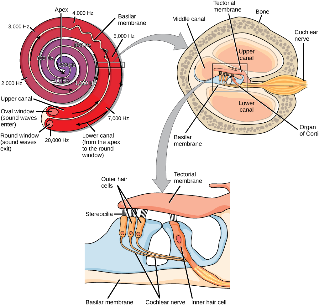 "A series of three illustrations are shown. The top illustration shows a cochlea, which is shaped like a snail shell with two parallel chambers, the upper chamber and the lower chamber, coiling from the outside in. These chambers are separated by a flexible membrane basilar membrane. The oval window covers the inner of these parallel chambers. Sound waves enter here, and travel to the middle, or apex, of the coil. The membrane separating the two chambers gets thinner from the outside in, such that is vibrates at different sound frequencies, about 20,000 hertz on the outside and about 200 hertz on the inside. Sound then travels back out through the lower chamber, and exits through the round window. The middle illustration shows a closer view of a cross-sectional image of the cochlea. A roughly circular shape has a roughly circular bone exterior, with the middle portion of the circle divided into four major areas. Two of these are spaces labeled ""upper canal"" and ""lower canal."" In the middle is the organ of Corti, and extending from the middle out through the outer bone area is the cochlear nerve, which extends from the middle as a thin tube and then bulges into a larger oval shape as it extends through the bone. The bottom illustration is an enlarged image of the organ of Corti. In the view shown, the top section is a flattish pink area called the tectorial membrane. Extending beneath that membrane are three areas with hair-like connectors (stereocilia) that run from the membrane to the outer hair cells. The outer hair cells are shaped like rectangles with rounded corners. From the end of each protrudes a narrow tube: the cochlear nerve. These narrow tubes join to an inner hair cell, which looks similar to the outer hair cells but with its rectangular shape remaining a consistent width instead of narrowing into a nerve. At the bottom of the image, opposite the top tectorial membrane, is a basilar membrane."