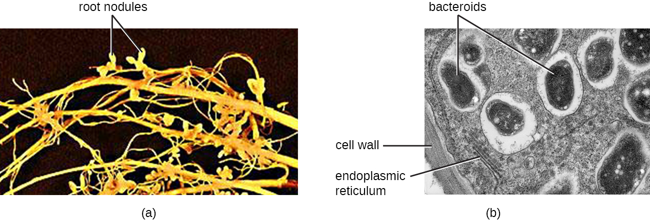 A) photo of roots with small nodules labeled root nodules. A micrograph of a root nodule. A thick cell wall is on the outside. Lines inside are labeled endoplasmic reticulum. Large ovals in clear structures are labeled bacteroids.