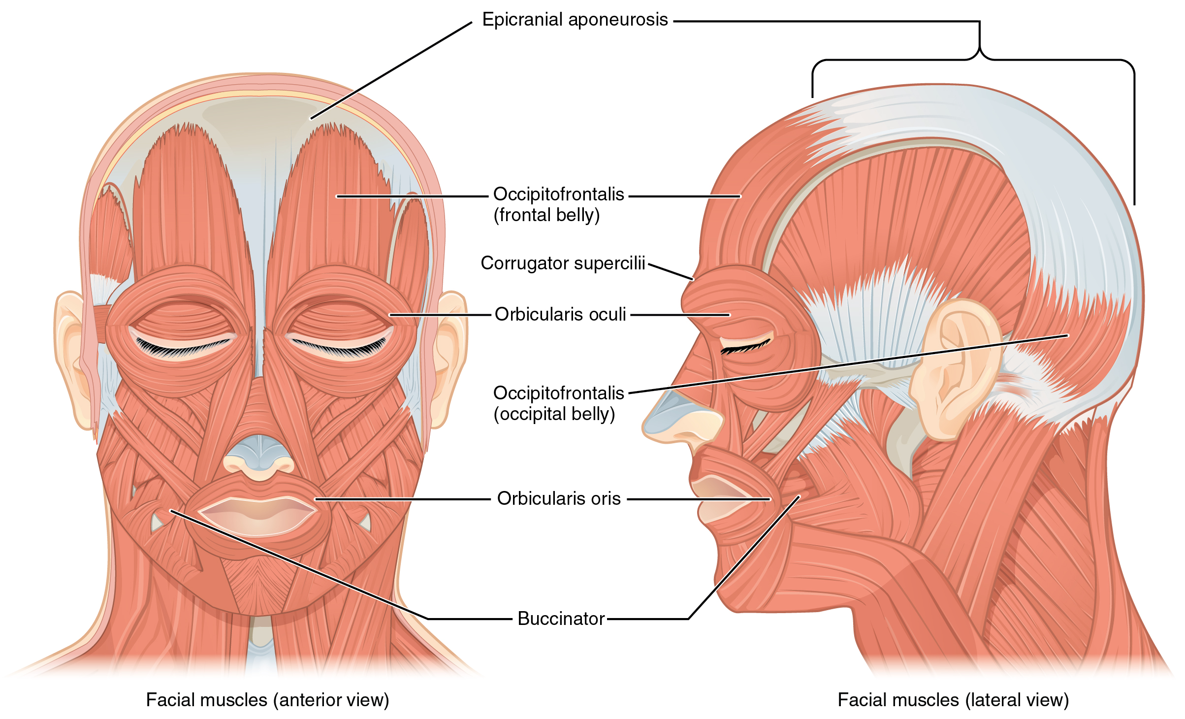 The left panel in this figure shows the anterior view of the facial muscles, and the right panel shows the lateral view.