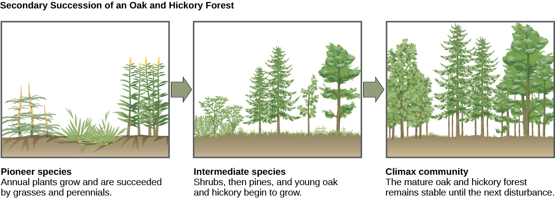 The three illustrations show secondary succession of an oak and hickory forest. The first illustration shows a plot of land covered with pioneer species, including grasses and perennials. The second illustration shows the same plot of land later covered with intermediate species, including shrubs, pines, oak, and hickory. The third illustration shows the plot of land covered with a climax community of mature oak and hickory. This community remains stable until the next disturbance.