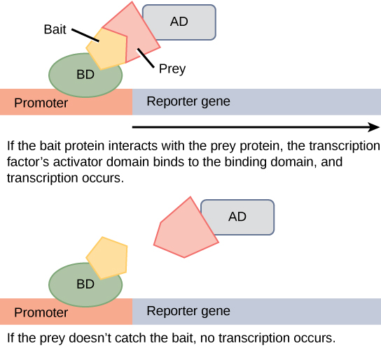 In two-hybrid screening, the binding domain of a transcription factor is separated from the activator domain. A bait protein is attached to the D N A binding domain of a transcription factor, and a prey protein is attached to the activator domain. If the prey catches the bait, in other words, binds to it, transcription of a reporter gene occurs. If the prey does not catch the bait, no transcription occurs. Scientists use this transcriptional activation to determine if interaction between the bait and prey has occurred.