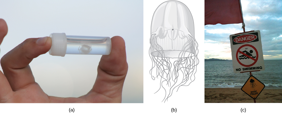 Photo A shows a person holding a small vial with a white jelly inside. The jelly is no bigger than a human fingernail. Illustration B shows a thimble-shaped jelly with two thick protrusions visible on either side. Tentacles radiate from the protrusions, and more tentacles radiate from the back. Photo C shows a sign posted on a beach beside the ocean that reads,danger, no swimming; with a picture of a jelly.
