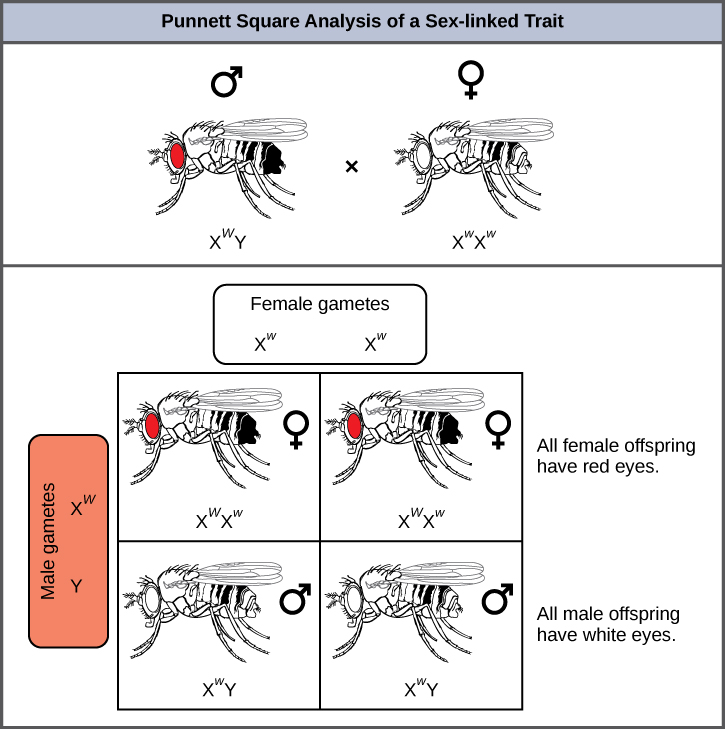 This illustration shows a Punnett square analysis of fruit fly eye color, which is a sex-linked trait. A red-eyed male fruit fly with the genotype X^{w}Y is crossed with a white-eyed female fruit fly with the genotype X^{w}X^{w}. All of the female offspring acquire a dominant W allele from the father and a recessive w allele from the mother, and are therefore heterozygous dominant with red eye color. All of the male offspring acquire a recessive w allele from the mother and a Y chromosome from the father and are therefore hemizygous recessive with white eye color.
