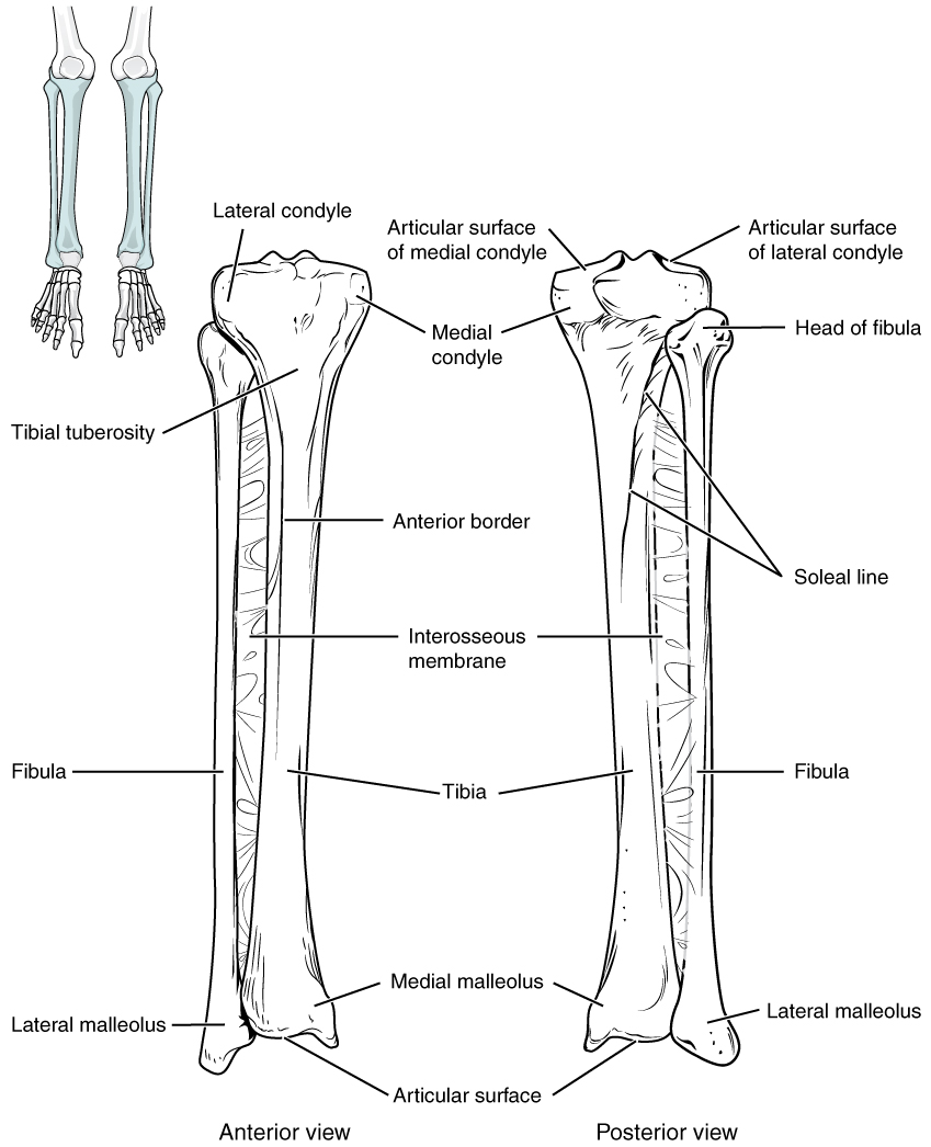 This image shows the structure of the tibia and the fibula. The left panel shows the anterior view, and the right panel shows the posterior view.