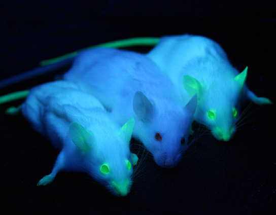 A photo shows 3 mice under ultraviolet light. All three have white fur that looks purple in the UV light. The middle mouse is non-transgenic and is non-fluorescing. The mice on the left and right are transgenic, and their eyes, ears, nose, and tail fluoresce green under the UV light.