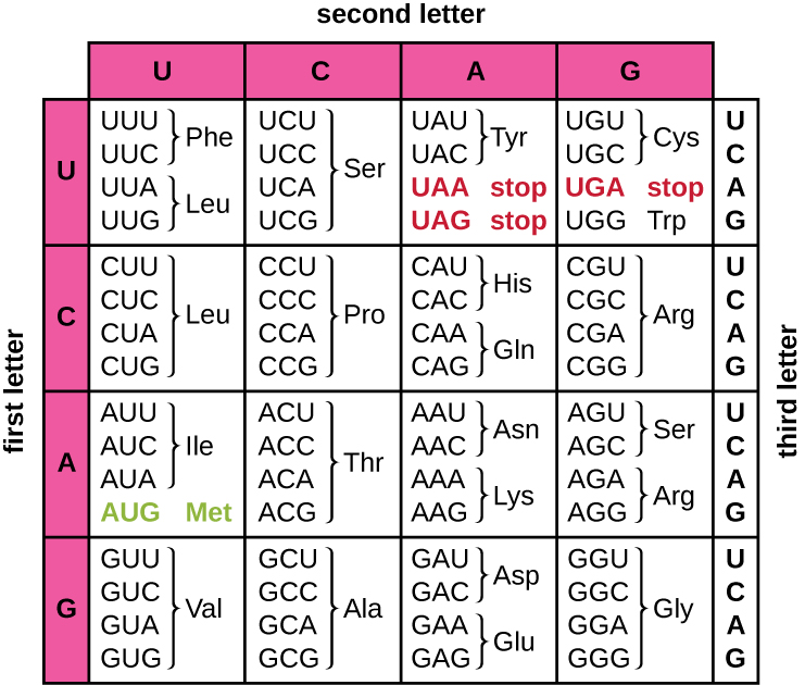 The codon table. On the left is the first letter of the codon (from top to bottom – U, C, A, G). On the top is the second letter (left to right U, C, A, G). On the right is the third letter (in each row, this is designated from top to bottom as U, C, A, G. UUU and UUC are Phe. UUA and UUG are Leu. UCU, UCC, UCA and UCG are Ser. UAU and UAC are Tyr. UAA and UAG are stop. UGU and UGC are Cys. UGA is stop. UGG is Trp. CUU, CUC, CUA, and CUG are Leu. CC, CCC, CCA, and CCG are Pro. CAU and CAC are his. CAA and CAG are Gln. CGU, CGC, CGA, CGG are Arg. AUU, AUC, AUA are Ile, AUG is Met and start. ACU, ACC, ACA, ACG is Thr. AAU AAc, is Asn. AAA, AAG is Lys. AGU, AGC is SEr. AGA, AG is ARg. GUU, GUC, GUA, GUG is Val. GCU, GCC, GCA, GCG, is ala. GAU, GAC is Asp. GAA, GAG is Glu. GGU, GGC, GGA, GGG is Gly.