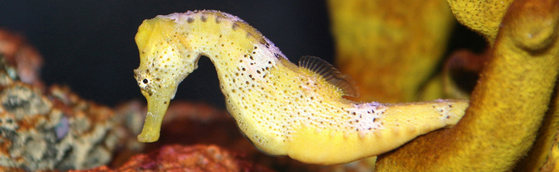Photo shows a yellow seahorse with its tail curled around a fragment of coral.