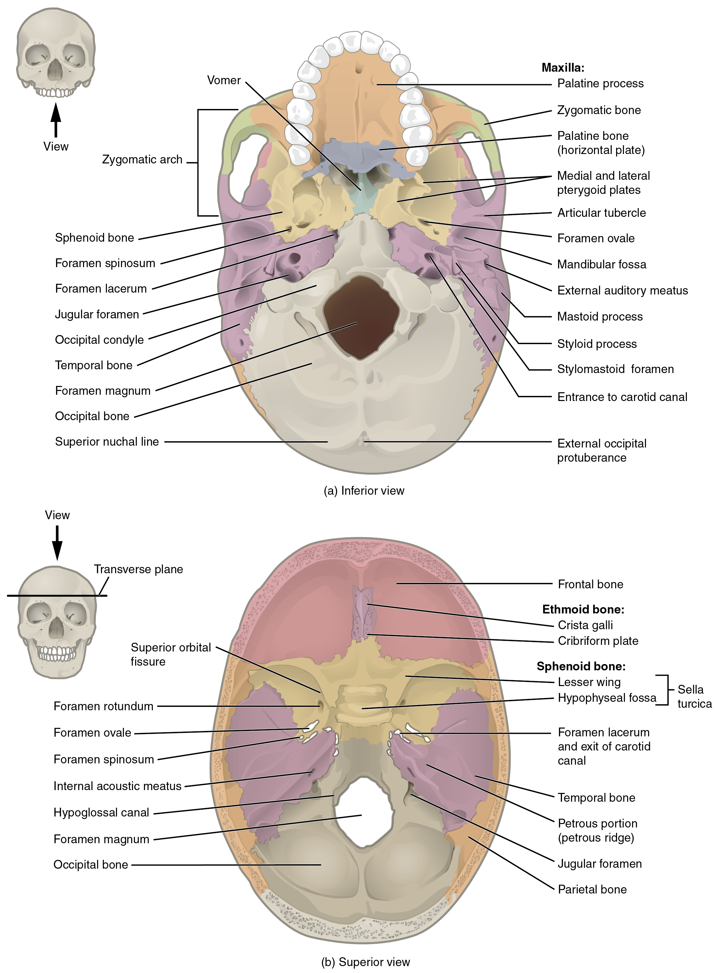 This image shows the superior and inferior view of the skull base. In the top panel, the inferior view is shown. A small image of the skull shows the viewing direction on the left. In the inferior view, the maxilla and the associated bones are shown. In the bottom panel, the superior view shows the ethmoid and sphenoid bones and their subparts.