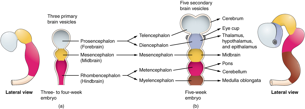 This image shows the developmental stages of the brain. The left panel shows a lateral view and an anterior view of the brain of a three-to-four week old embryo The three regions are labeled. The right panel shows the anterio and lateral view of a five-week embryo and the five regions are labeled.