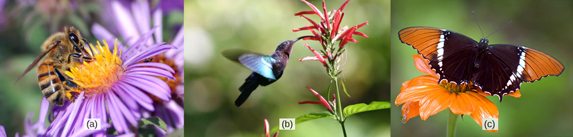 Photo A shows a bee drinking nectar from a wide, flat purple flower. Photo B shows a hummingbird drinking nectar from a long, tube-shaped red flower. Photo C shows a butterfly drinking nectar from a flat, wide orange flower.