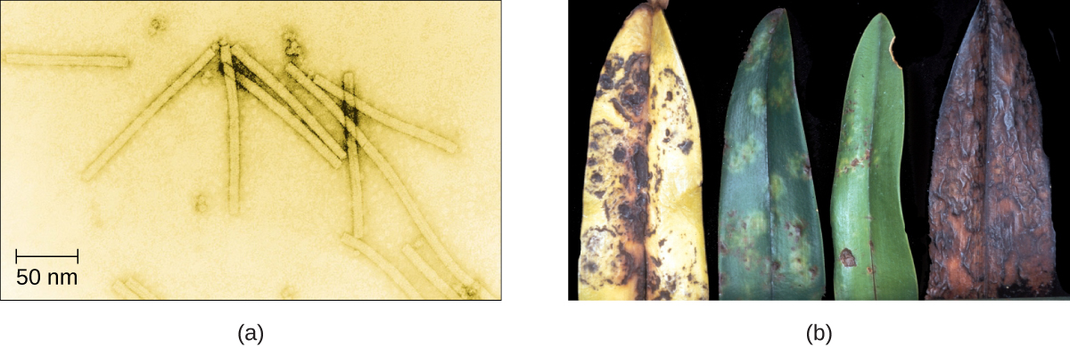 Figure a is an electron micrograph showing long rod shaped viruses. Figure B shows four diseased plant leaves. The leaves are yellowing, mottled, and dying.