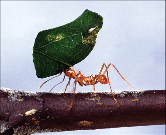 Photo shows an ant carrying a leaf over its head.